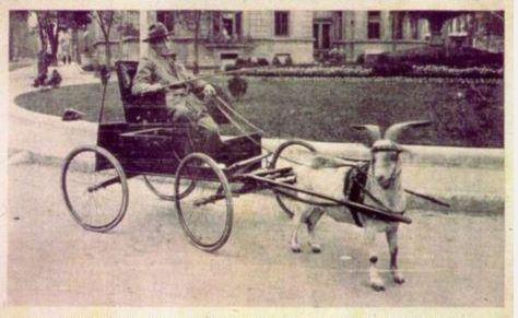 goatcart2